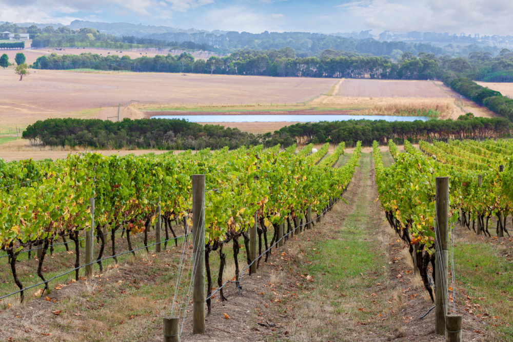 Rows of grape vines going down the hill