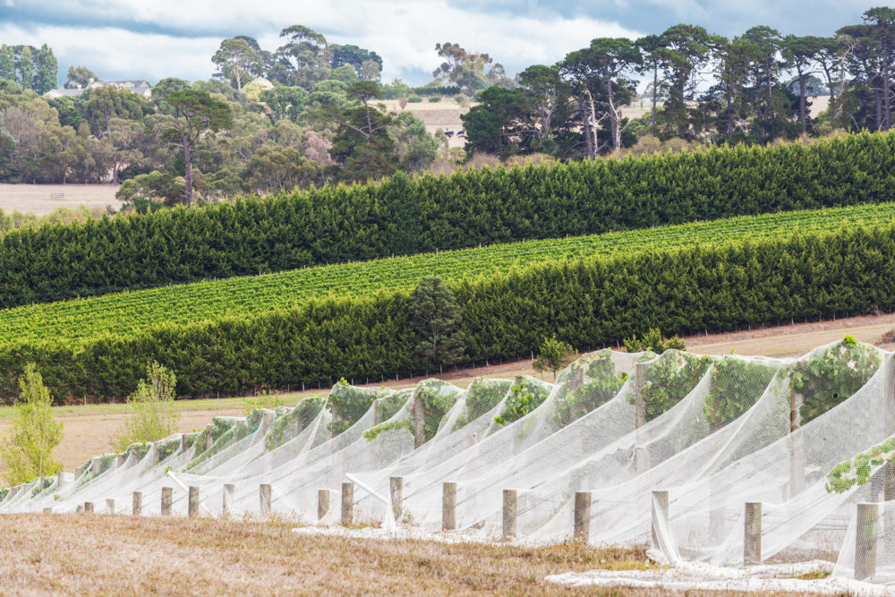 Rows of grape vines covered with bird netting