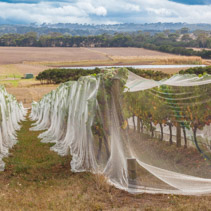 Rows of grape vines covered with bird netting.