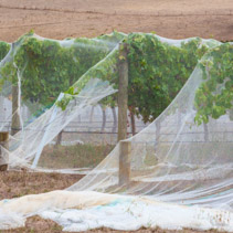 Rows of grape vines protected with bird netting closeup