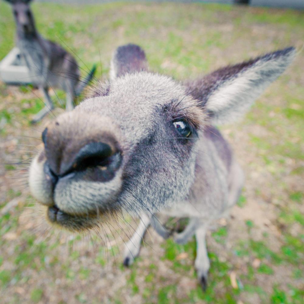 Eastern grey kangaroo in a funny pose
