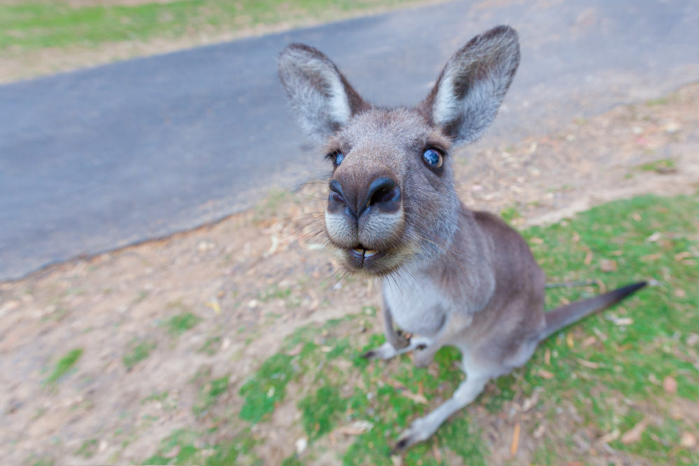Kangaroo sitting with a funny facial expression