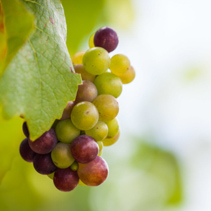 Unripe wine grapes