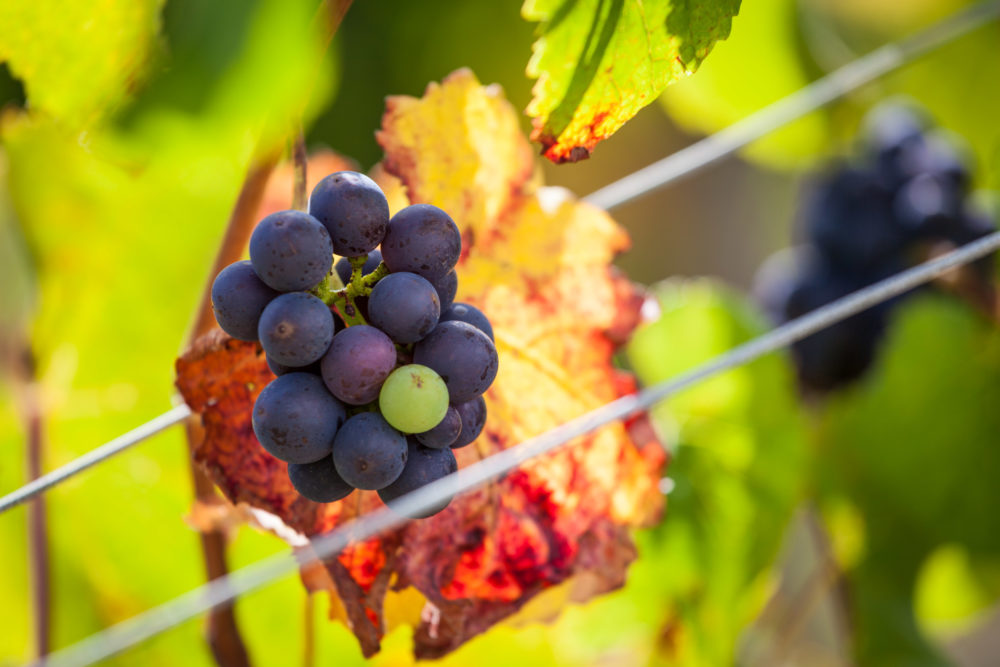 Bunch of red wine grapes in a beautiful light