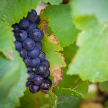 Bunch of ripe red wine grapes