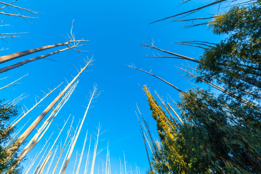Looking up at the blue sky and bare trees