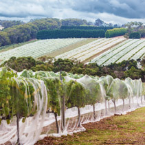 Rows of grape vines protected with bird netting.