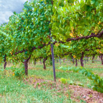 Vineyard rows closeup