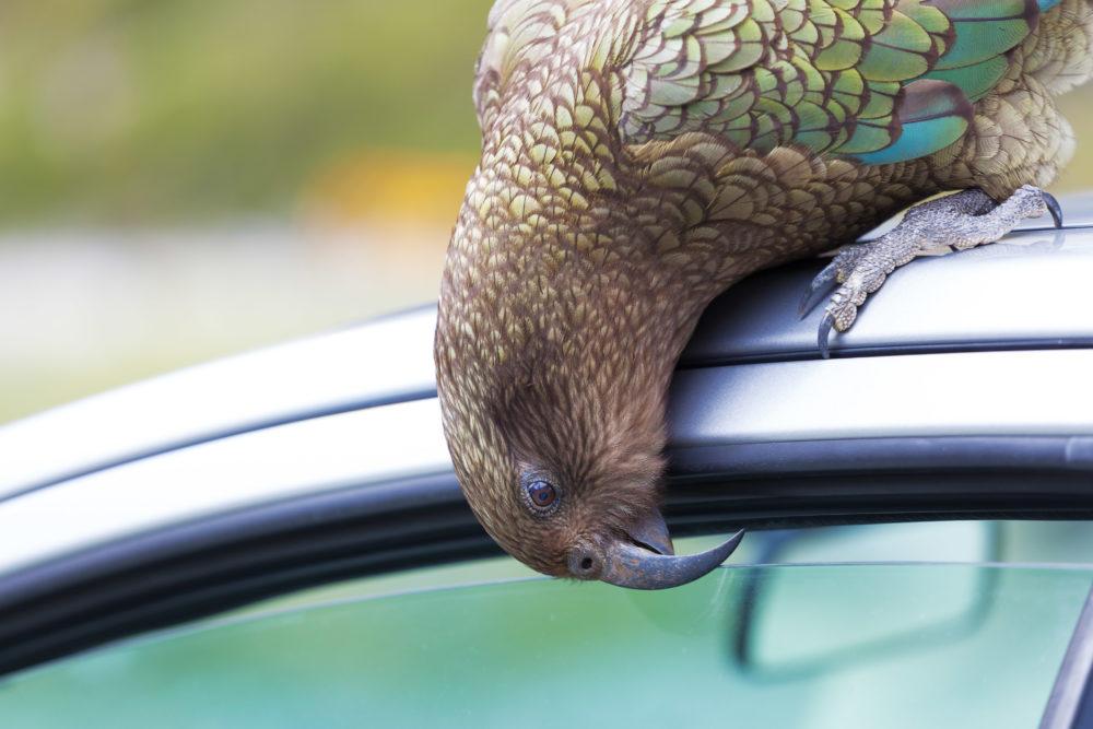Kea Parrot peeks into tourist's car.