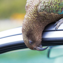 Kea Parrot peeks into tourist's car.