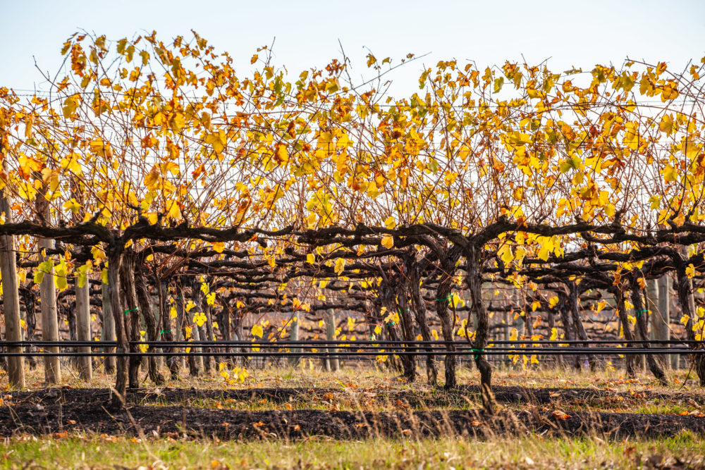 Closeup of rows of grape vines with golden leafs