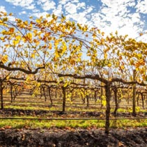 Grape vines with yellow leafs in autumn under bright sun
