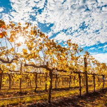 Rows of grape vines with golden leafs and sun flare in autumn in Australia.