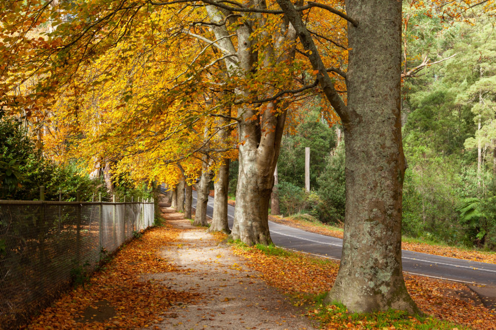 Row of tall trees with golde leafs in autumn.