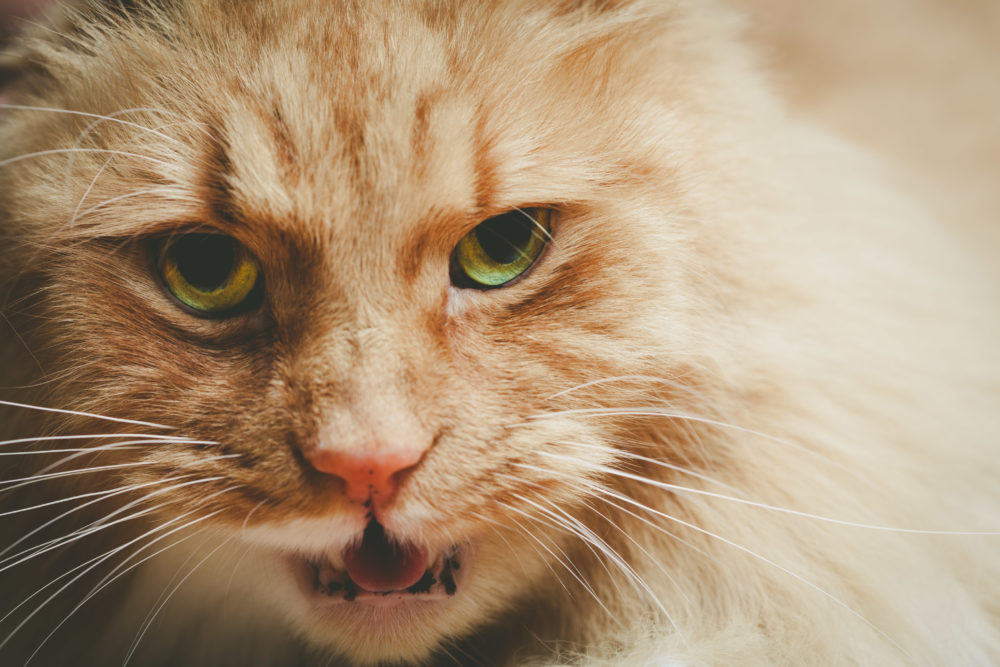 Dangerous ginger cat with open mouth - closeup portrait