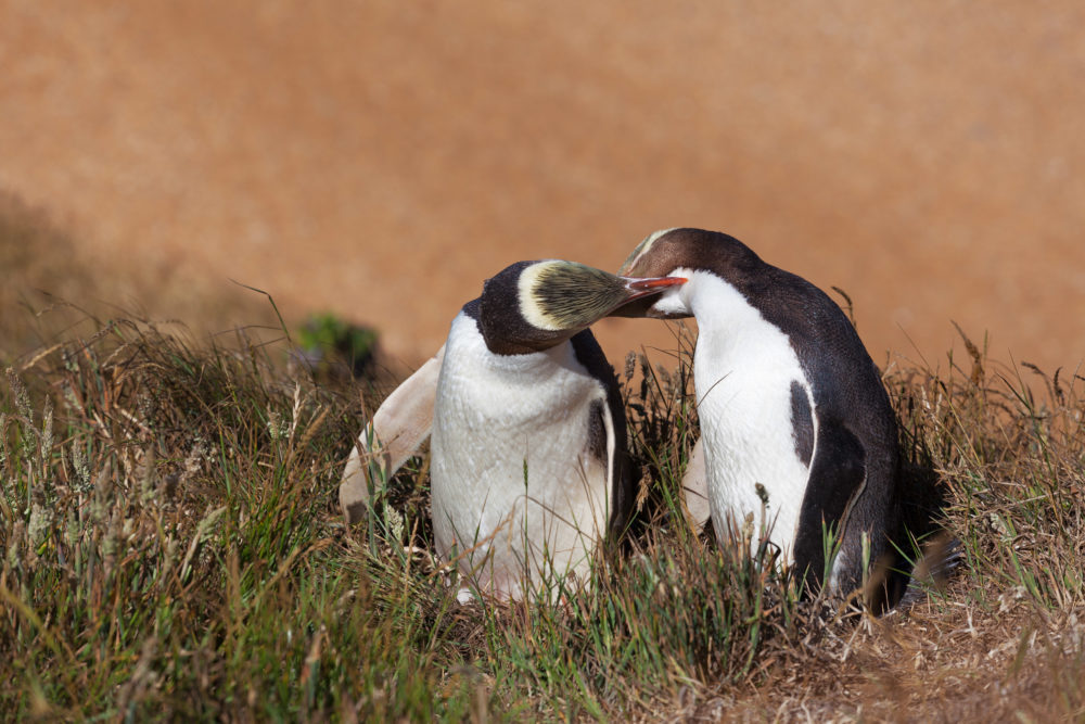 Two Yellow Eyed Penguins kissing, South Island, New Zealand