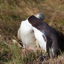 Two Yellow Eyed Penguins showing affection, South Island, New Zealand
