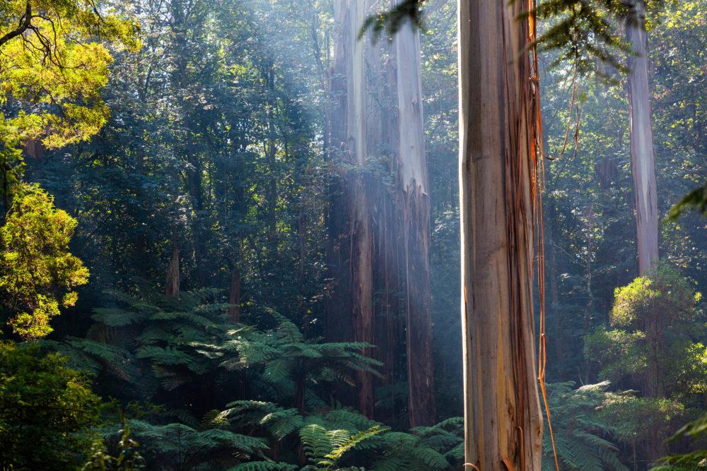 Native Australian rainforest in Dandenong Ranges