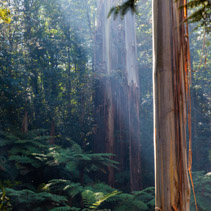 Native Australian rainforest in Dandenong Ranges