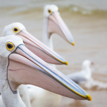 Closeup of Australian Pelican with more pelicans in the background