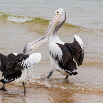 Two Australian Pelicans fighting for fish