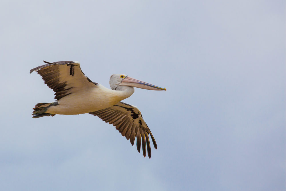 Australian Pelican spreading wings in flight