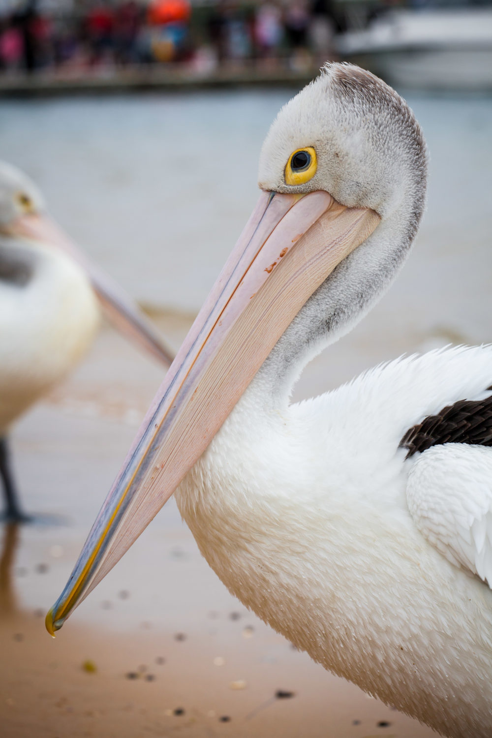 Closeup of Australian Pelican