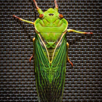 The Green Grocer Cicada on dark background