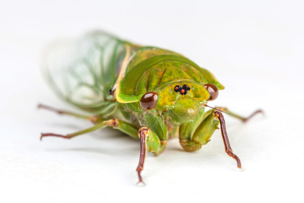 The Green Grocer Cicada isolated on white