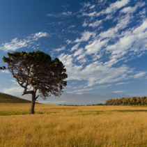 Lone tree at Kaikoura Peninsula Walkway, Canterbury, New Zealand