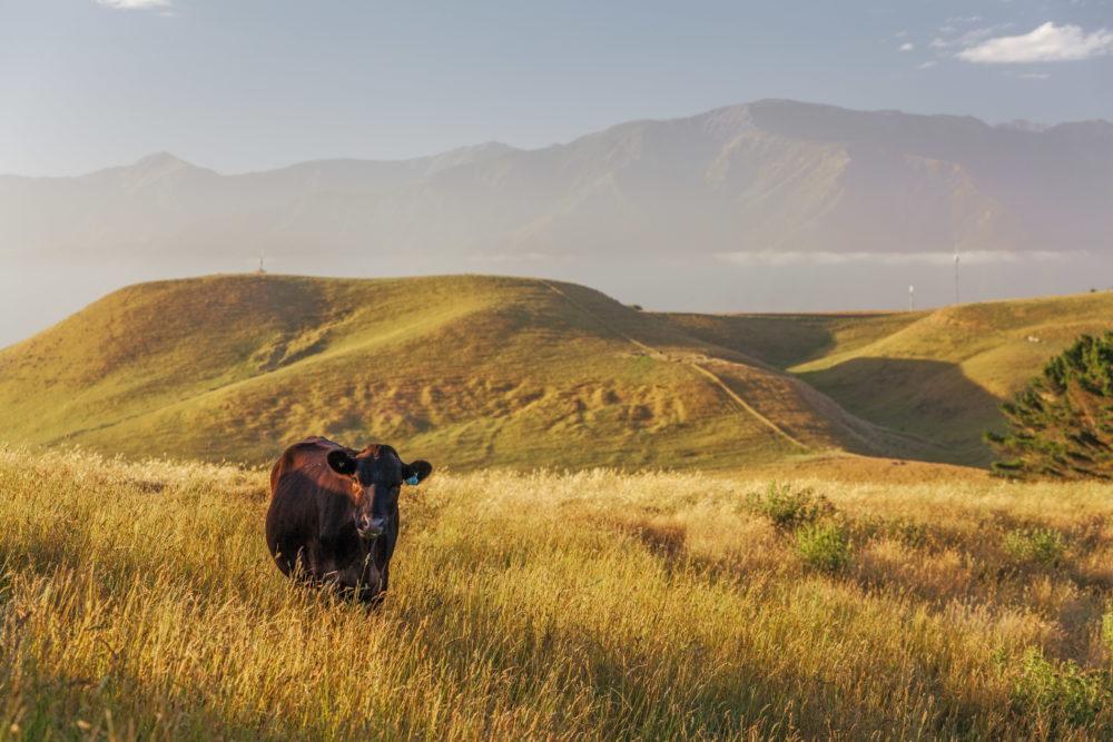 Lone cow at Kaikoura Peninsula Walkway, Canterbury, New Zealand