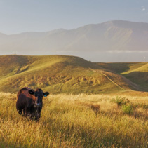 Lone cow at Kaikoura Peninsula Walkway, Canterbury, New Zealand