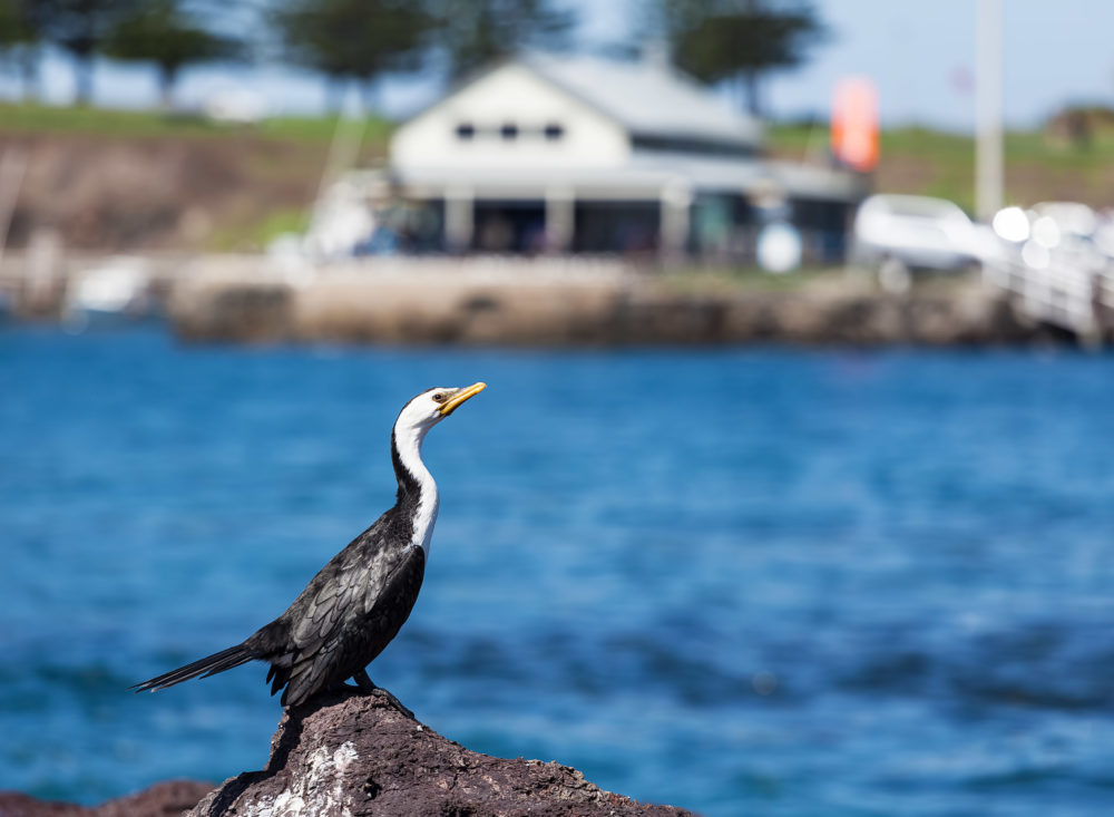 Little Pied Cormorant sunbathing in Kiama, New South Wales, Australia