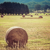 Round hay bale in a field closeup
