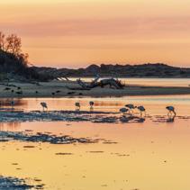 White Australian Ibis feeding. Sunrise, Australia.