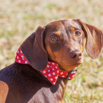 Closeup portrait of dachshund with red collar
