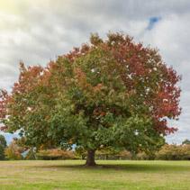 Big Oak tree on green grass in Autumn