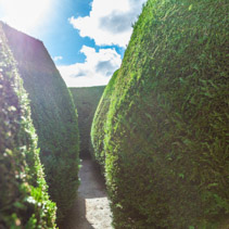 Narrow path in a tall grown maze on sunny day