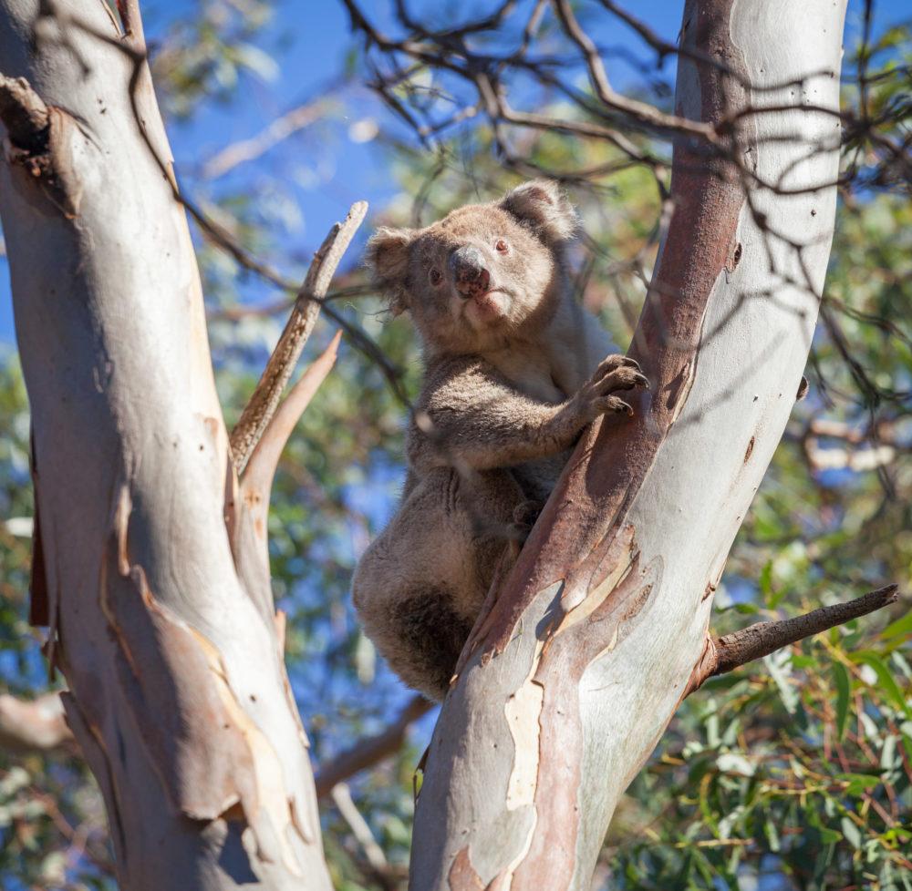 Koala portrait sitting on eucalyptus tree