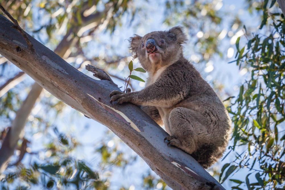 Portrait of Koala sitting on tree branch.
