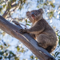 Portrait of Koala sitting on tree branch.