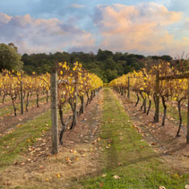 Vineyard in Yarra Valley, Australia in autumn