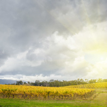 Endless rows of vines at Vineyard in Yarra Valley, Australia