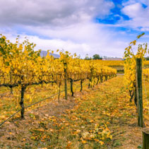 Rows of vines with yellow leaves in autumn.
