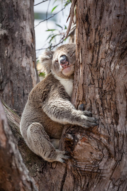 Koala hugging eucalyptus tree at its afternoon nap