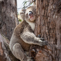 Koala hugging eucalyptus tree at its afternoon nap