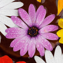 Extreme closeup of purple gerbera flower with water drops