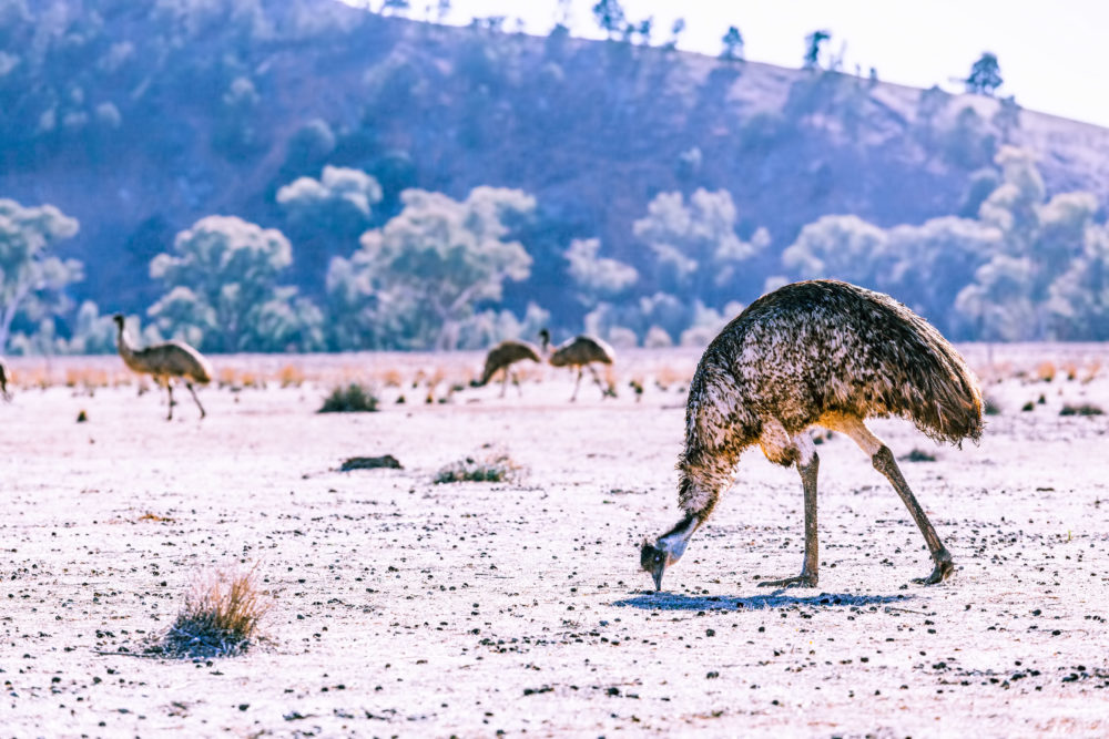 Emu feeding off the ground in Ikara-Flinders Ranges National Park, South Australia