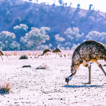 Emu feeding off the ground in Ikara-Flinders Ranges National Park, South Australia