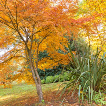 Golden fragile maple tree in a garden